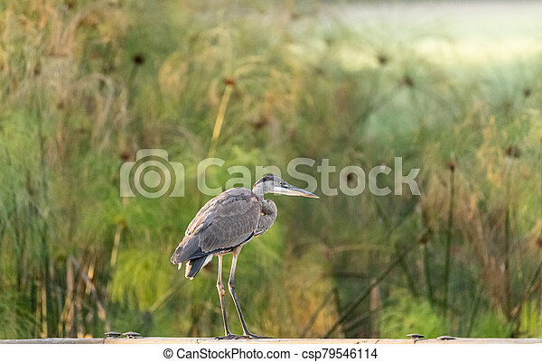 Great blue heron Ardea herodias bird perches on a fence - csp79546114