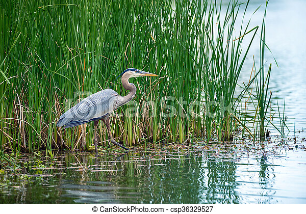 Great Blue Heron (Ardea herodias) in the reeds on a lake - csp36329527