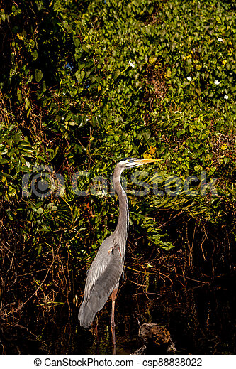 Great Blue Heron Ardea herodias on the roots of a mangrove tree - csp88838022