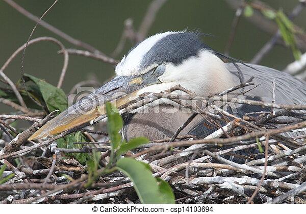 Great Blue Heron (Ardea Herodias) - csp14103694