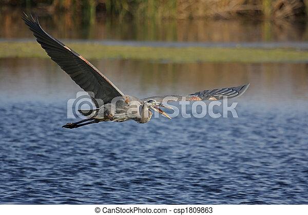 Great Blue Heron (Ardea Herodias) - csp1809863
