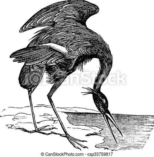 Great Blue Heron (Ardea herodias) vintage engraving - csp33759817