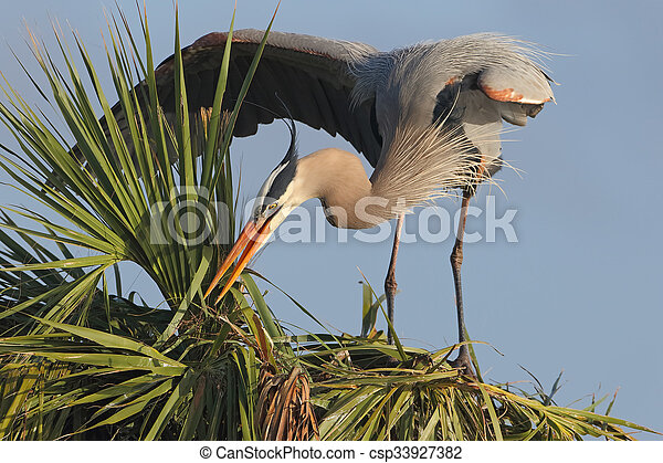 Great Blue Heron Building a Nest in a Palm Tree - csp33927382