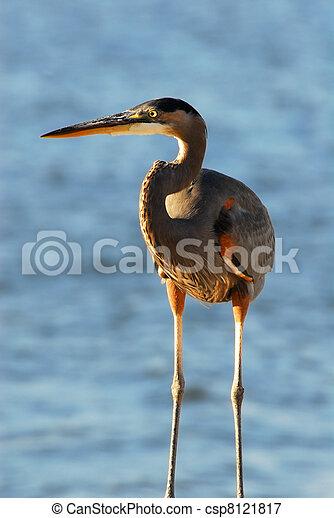 Great Blue Heron Closeup - csp8121817