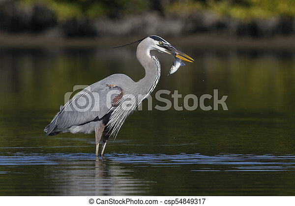 Great Blue Heron eating a fish - Pinellas County, Florida - csp54849317