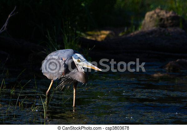 Great Blue Heron Fishing - csp3803678