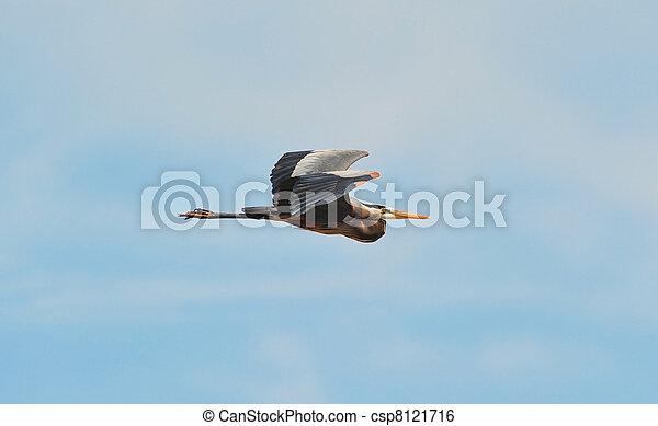 Great Blue Heron flying - csp8121716