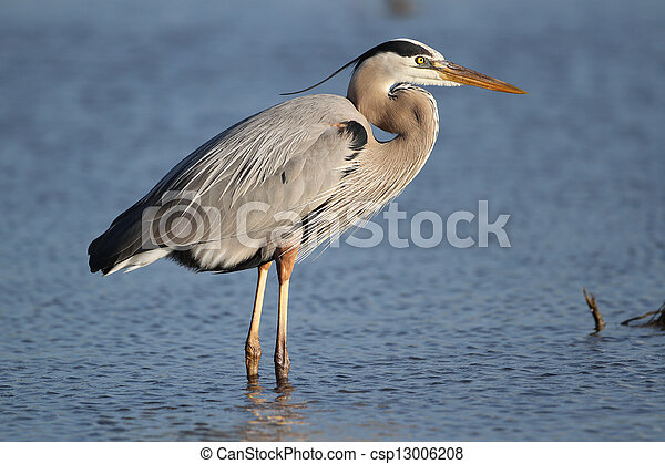 Great Blue Heron - Fort Myers Beach, Florida - csp13006208