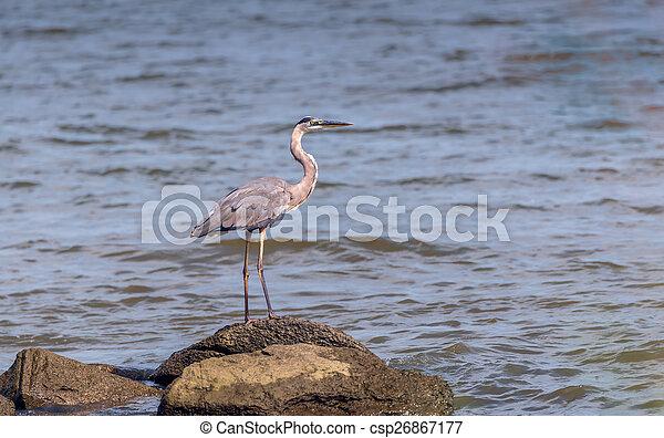 Great Blue Heron Gaze - csp26867177