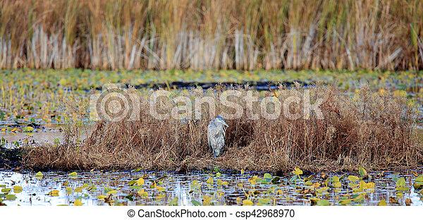 Great Blue Heron in a marsh in autumn - csp42968970