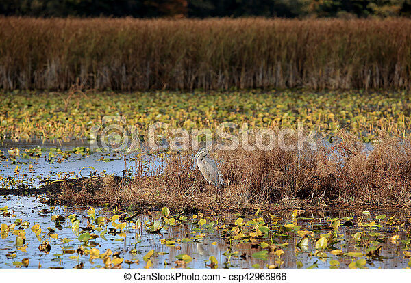 Great Blue Heron in a marsh in autumn - csp42968966