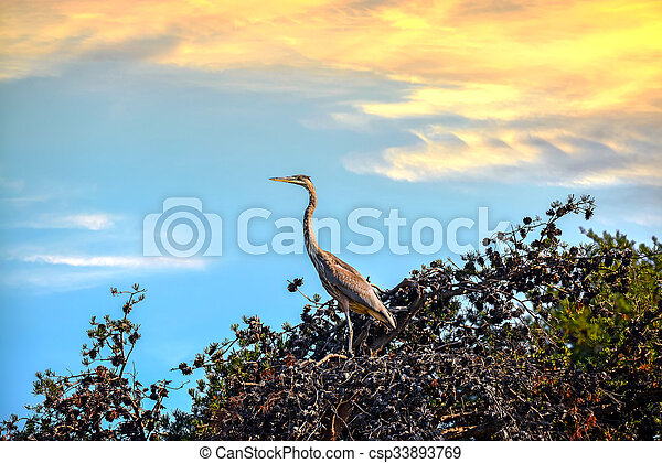 Great Blue Heron in a Pine Tree at Sunset - csp33893769