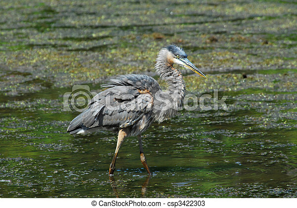 Great Blue Heron in pond - csp3422303