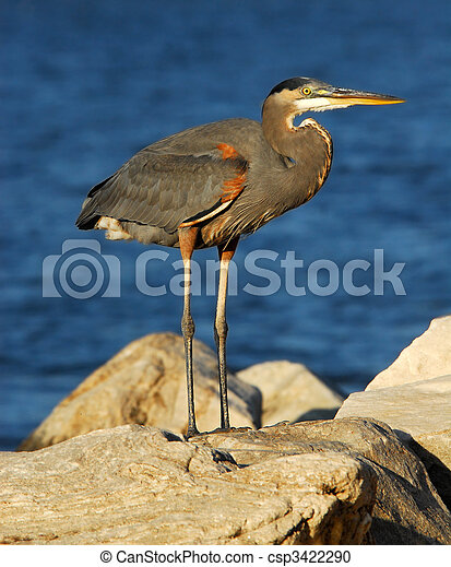 Great Blue Heron on rock - csp3422290