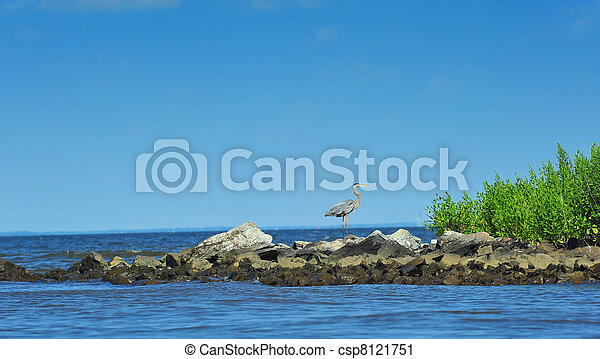 Great Blue Heron on the Chesapeake Bay - csp8121751