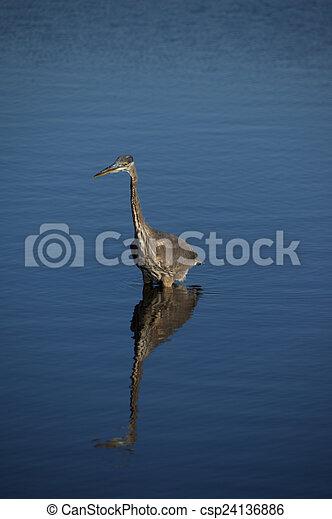 Great Blue Heron - csp24136886