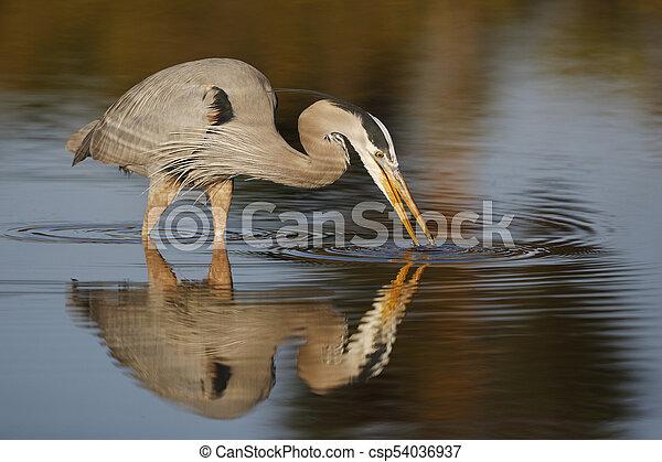 Great Blue Heron stalking a fish - Estero Island, Florida - csp54036937
