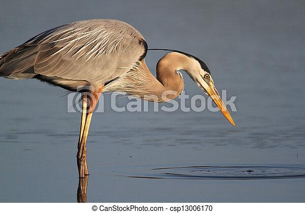 Great Blue Heron Stalking its Prey - csp13006170