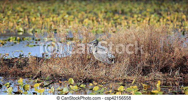 Great blue heron standing on a weedy island in a marsh - csp42156558