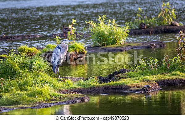 Great Blue Heron Standing on an island in the Chesapeake Bay - csp49870523