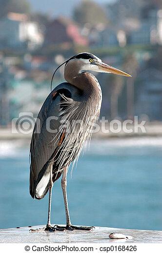 Great Blue Heron - csp0168426
