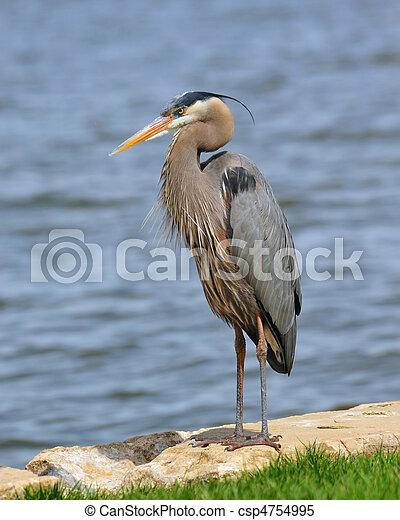 Great Blue Heron - csp4754995