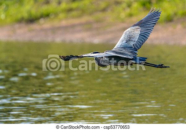 Great Blue Heron - csp53770653
