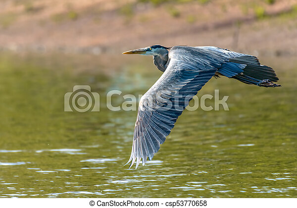 Great Blue Heron - csp53770658