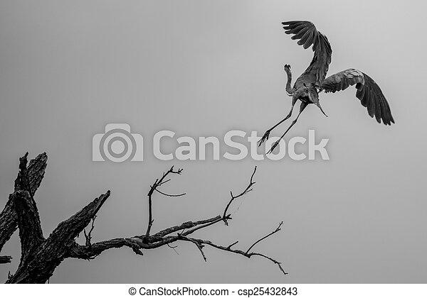 Great Blue Heron - csp25432843