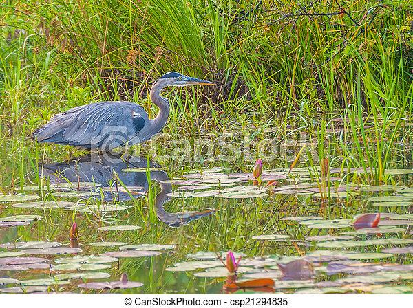 Great Blue Heron - csp21294835