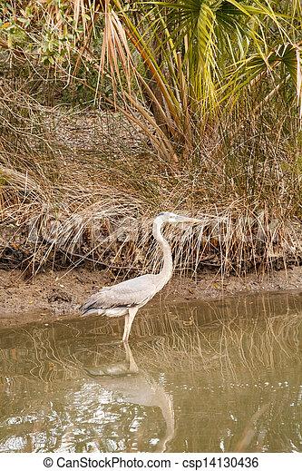 Great Blue Heron Wading in Marsh - csp14130436