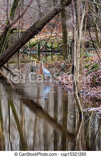 Great blue heron wading on waterside in a forest - csp15321260