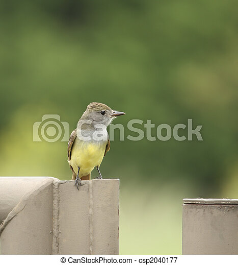 Great Crested Flycatcher - csp2040177