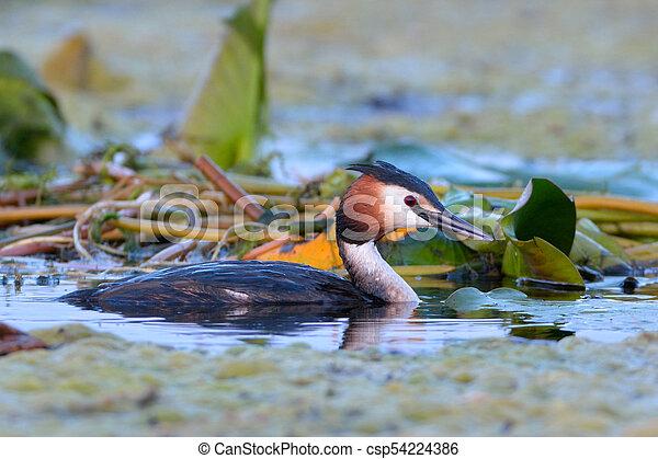 Great crested grebe (Podiceps cristatus) - csp54224386