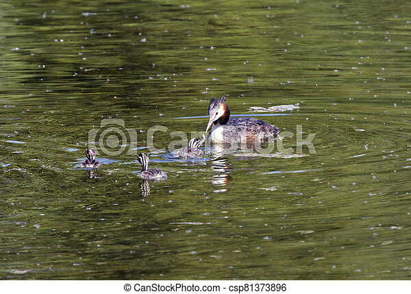 great crested grebe (Podiceps cristatus) with chick in the lake - csp81373896