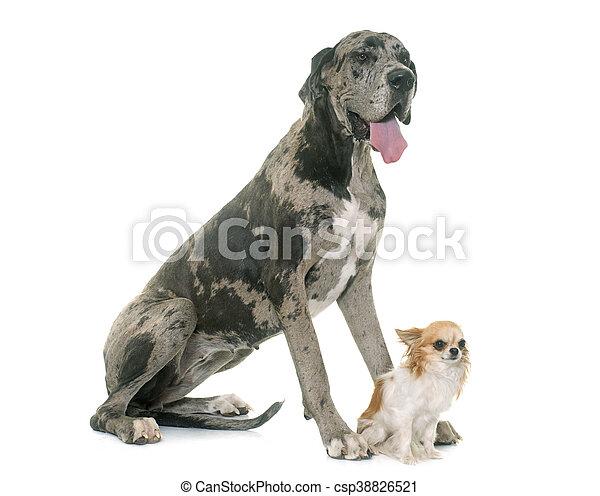 Great Dane and chihuahua - csp38826521