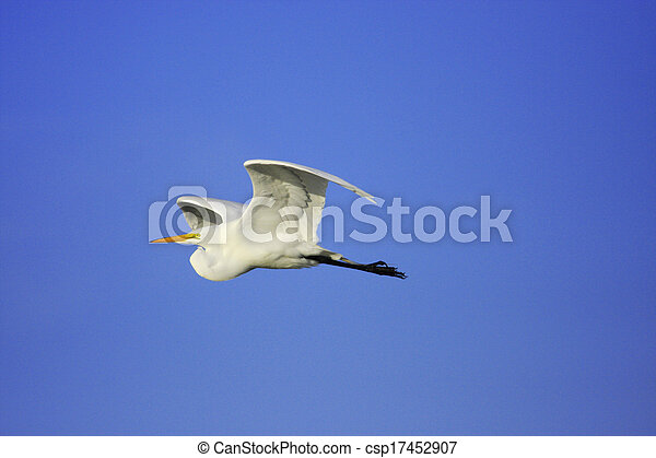 Great Egret (Ardea alba) flying - csp17452907