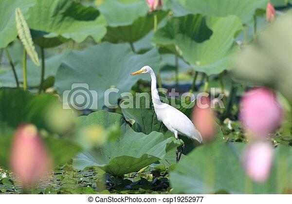 Great Egret (Ardea alba) - csp19252977
