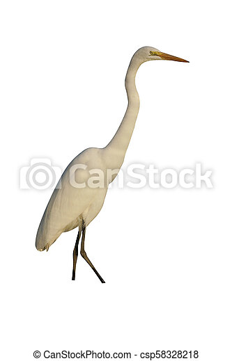 Great egret, Ardea alba - csp58328218
