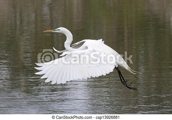 Great Egret (Ardea alba) - csp13926881