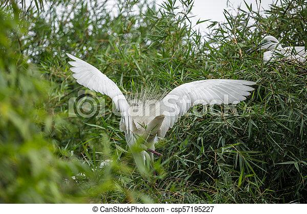 Great egret( Ardea alba) - csp57195227