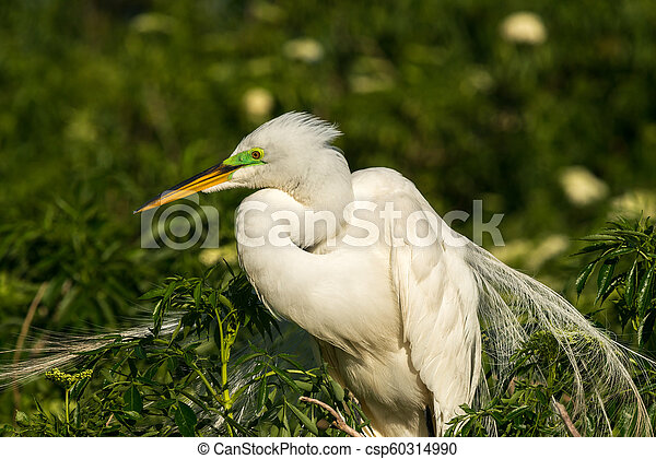 Great egret (Ardea alba) - csp60314990
