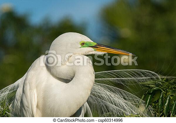 Great egret (Ardea alba) - csp60314996