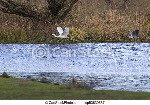 Great egret (Casmerodius alba) - csp53639887