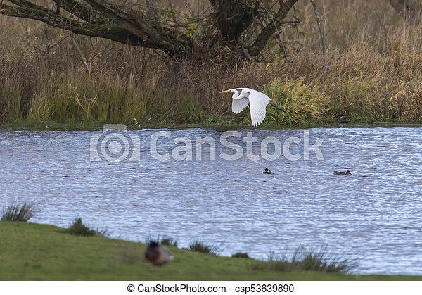 Great egret (Casmerodius alba) - csp53639890