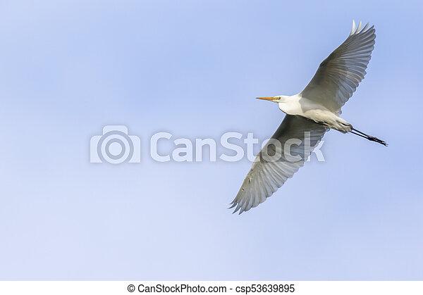 Great egret (Casmerodius alba) - csp53639895