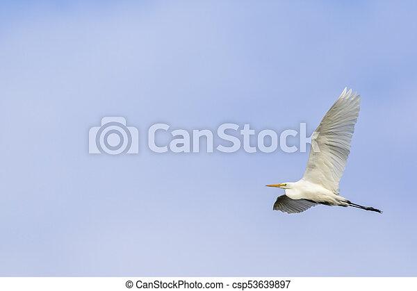 Great egret (Casmerodius alba) - csp53639897