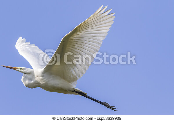 Great egret (Casmerodius alba) - csp53639909