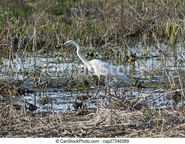 Great Egret (Egretta alba) - csp27346389
