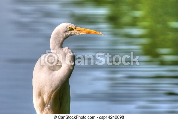 Great Egret in High Dynamic Range - csp14242698
